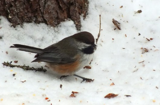 Boreal chickadee forages for food in the winter in Algonquin Provincial Park in Ontario, Canada.