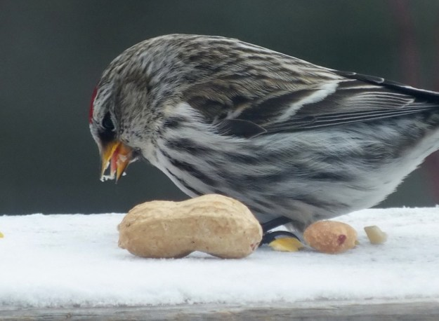 Photo of a Common Redpoll bird (Carduelis flamme) which was sighted in Algonquin Park