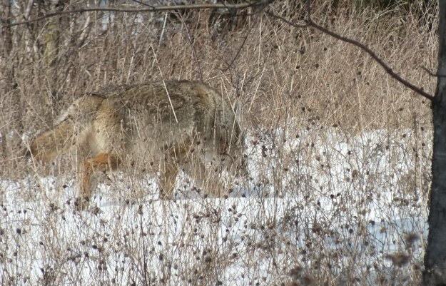 hoto of a wild Coyote moving through long grass, and smelling the snow in the Claireville Conservation Area, in Toronto - Ontario March 8, 2013