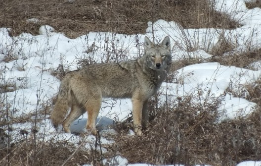Image of a wild Coyote standing in snow at the Claireville Conservation Area in Toronto, Ontario