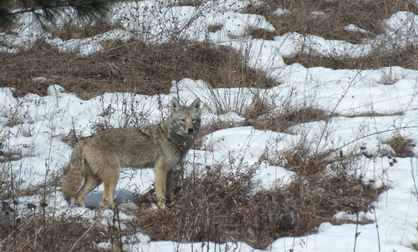 Photo of a Coyote look at us in a snow covered field in the Claireville Conservation Area, in Toronto - Ontario March 8, 2013