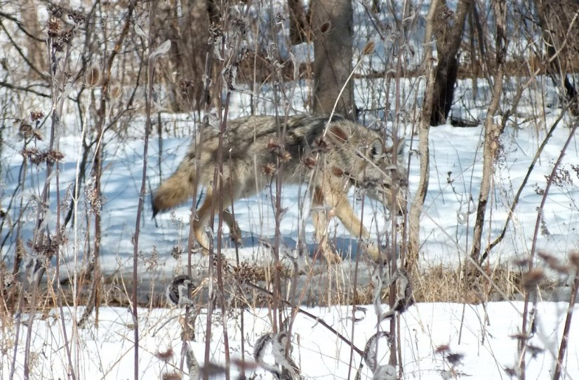 Photo of a wild Coyote moving quickly through thick bush in the Claireville Conservation Area, in Toronto - Ontario March 8, 2013