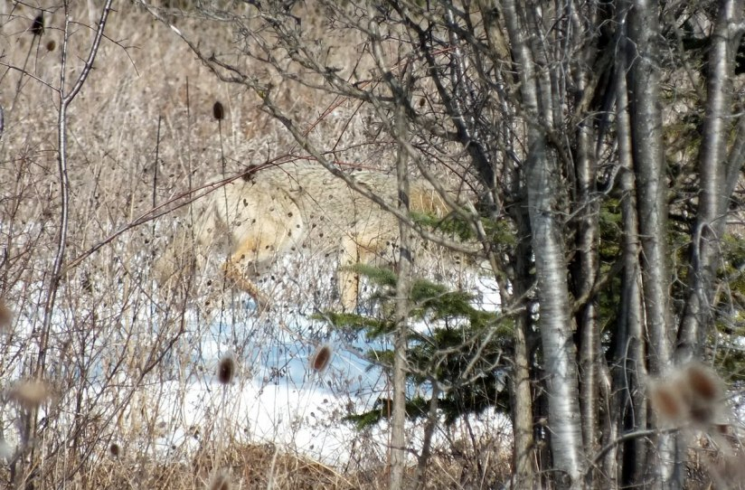 Photo of a wild Coyote moving through thick bush in the Claireville Conservation Area, in Toronto - Ontario March 8, 2013