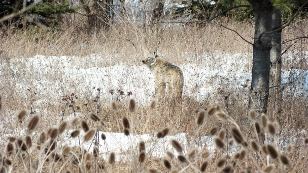 Photo of a wild Coyote looking back to see what is in the snowy forest in the Claireville Conservation Area, in Toronto - Ontario March 8, 2013