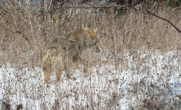 Photo of a wild Coyote moving slowly through long grass, and snow in the Claireville Conservation Area, in Toronto - Ontario March 8, 2013