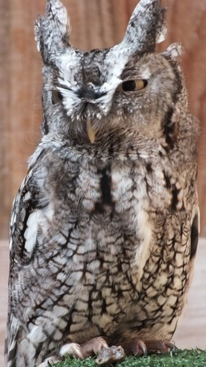 Eastern Screech owl - stands tall - Mountsberg Raptor Centre
