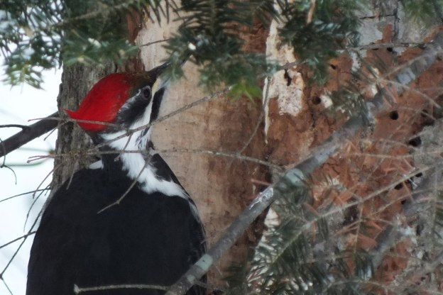 A closeup of the red head of a Pileated Woodpecker near Oxtongue Lake