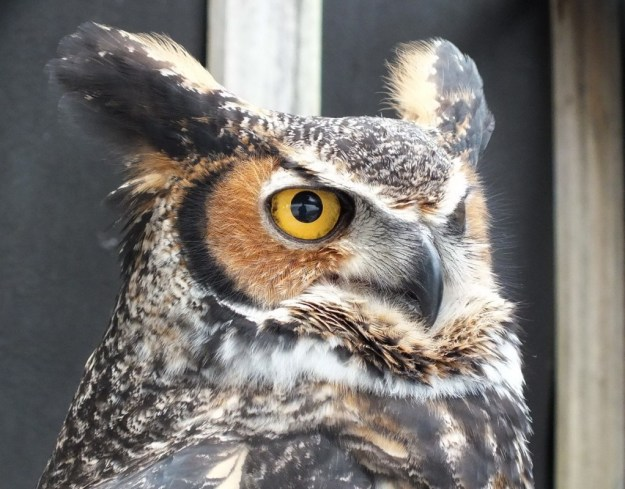 Great Horned Owl looks straight ahead at Mountsberg Raptor Centre
