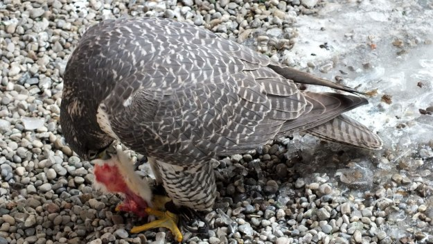 Gyrfalcon named Nahanni eats mouse at Mountsberg Raptor Centre