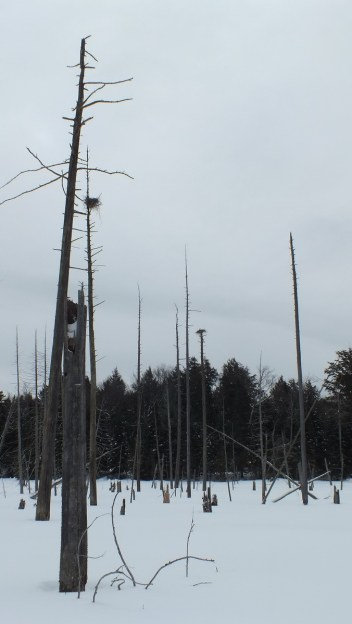 heron rookery in the winter near Oxtongue Lake - Ontario