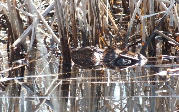 Muskrat - adult hides from weasel in water - Mississauga - Ontario