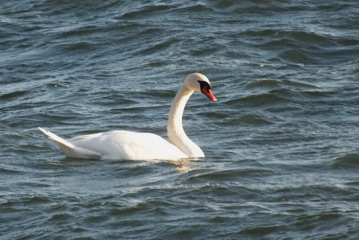 Mute Swan swimming on lake ontario