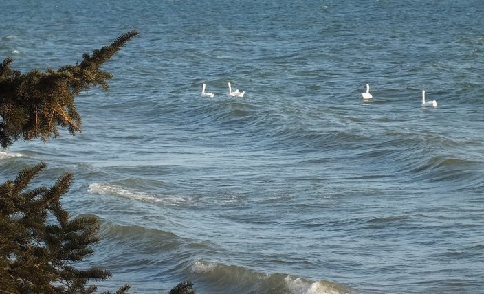 Mute Swans - swimming in waves - lake ontario