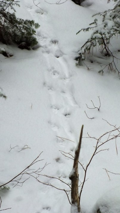 Otter tracks in snow along stream in Algonquin Provincial Park