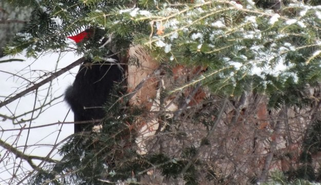 Pileated Woodpecker hidden from view on a tree near Oxtongue Lake - Ontario