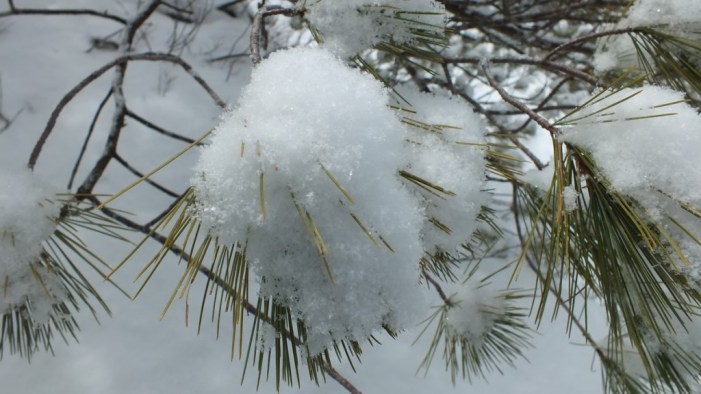 Puff of snow on pine tree - Algonquin Park - Ontario