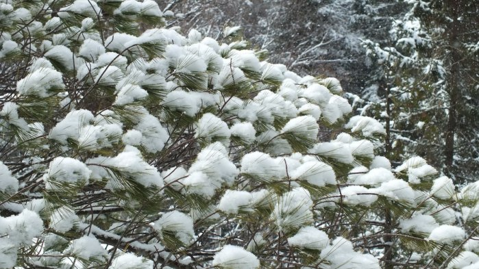 Puffs of snow on pine tree in Algonquin Provincial Park