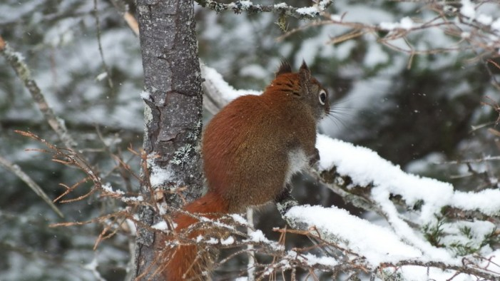 Red Squirrel in Algonquin Provincial Park
