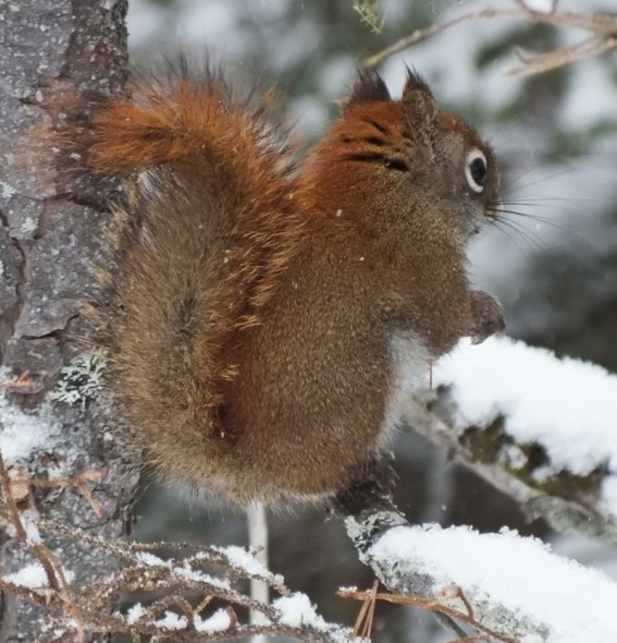 Red Squirrel sits in snowy tree in Algonquin Park