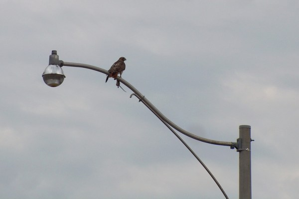 A Red Tailed Hawk sits with a rat in its claws on a light post in Toronto, Ontario