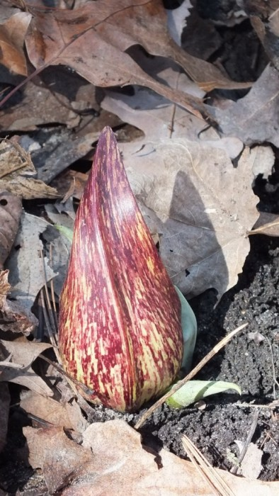 Skunk Cabbage plant in Hamilton swamp - Ontario