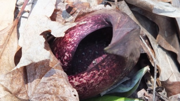 Skunk Cabbage plant growing among fallen leaves in the spring