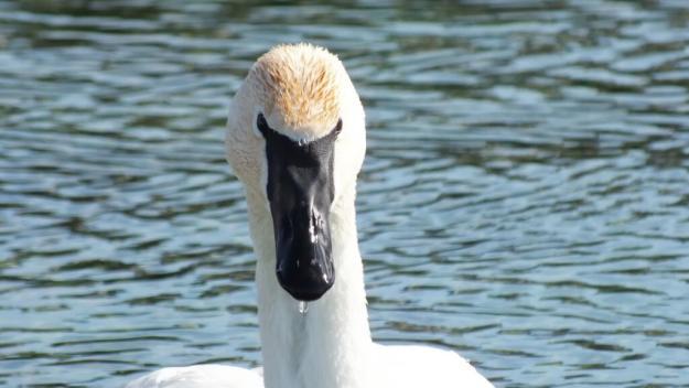 Trumpeter swan - closeup of water dripping from beak - Washago beach - Ontario