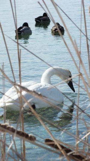 Trumpeter swan - drinks - Washago beach - Ontario