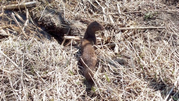 Weasel looks around on edge of swamp in Mississauga - Ontario