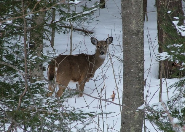 Photo of a White tailed deer in Algonquin Park