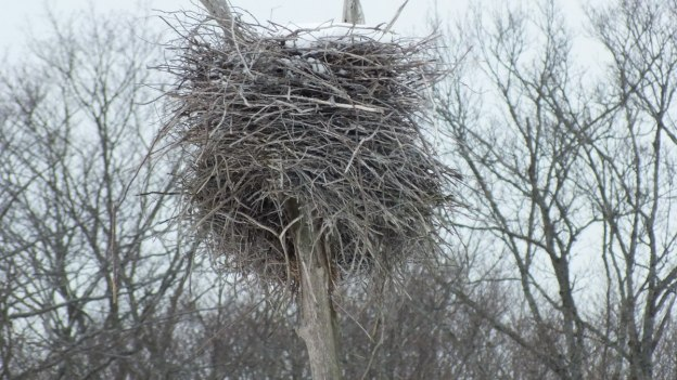 A heron nest filled with snow near Oxtongue Lake - Ontario
