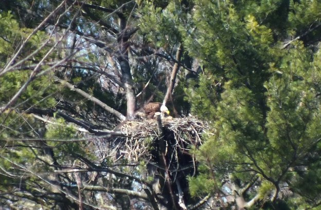 Bald Eagle feeds young - Cootes Paradise Marsh - Hamilton - Ontario