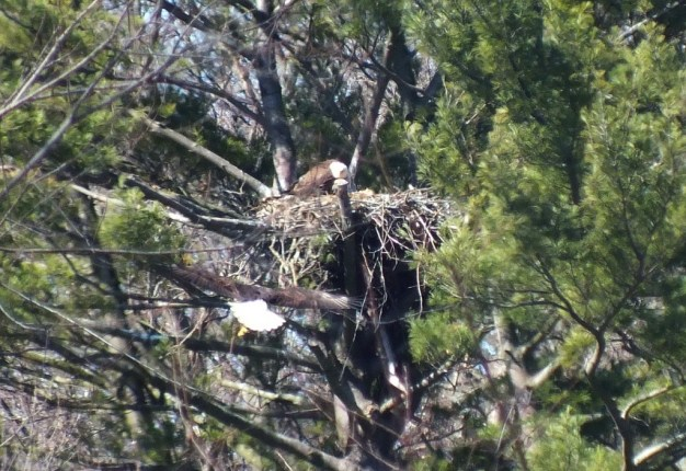 Bald Eagle returns back to nest - Cootes Paradise Marsh - Hamilton - Ontario