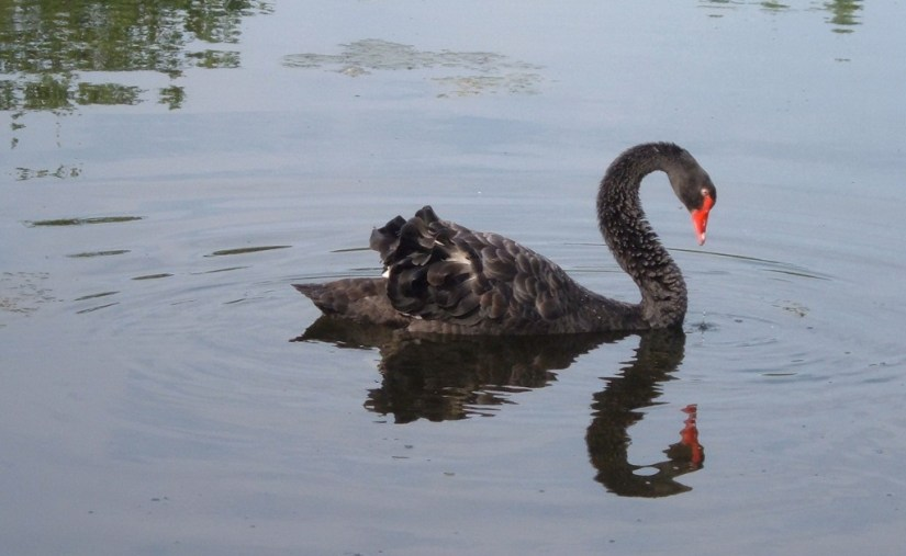 Black Swan on the Otonabee River - Ontario