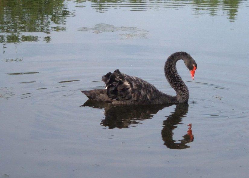 Black Swan on the Otonabee River - Ontario