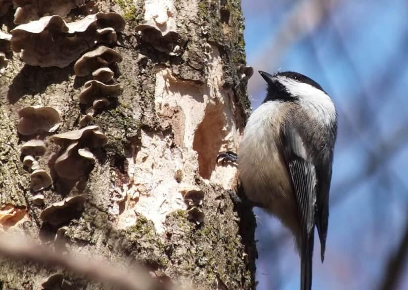 Black-capped chickadee on tree beside nest holes - thicksons woods