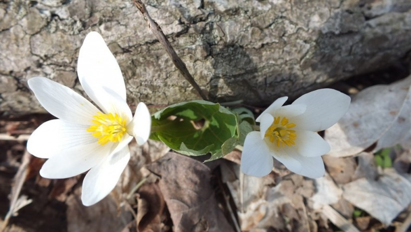 Bloodroot, Beamer Memorial Conservation Area, Grimsby