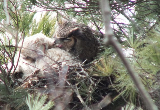 Great Horned Owl mom preens chick - Thicksons Woods - Whitby - Ontario