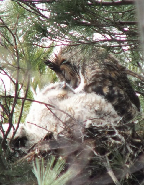 Great Horned Owl mom preens herself with chick - Thicksons Woods - Whitby - Ontario