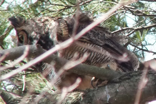 Great Horned Owl moms talon - Thicksons Woods - Whitby - Ontario