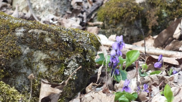 Northern Blue Violet, Lichen-encrusted Rock, Beamer Memorial Conservation Area, Grimsy