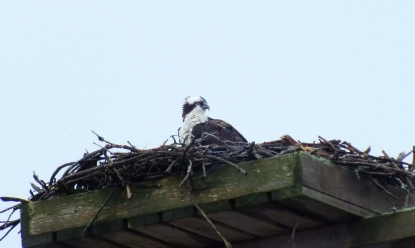 Osprey sits in nest in rain storm - Youngs Point - Ontario - Canada