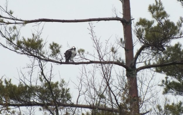 Osprey sits in tree - Youngs Point - Ontario - Canada