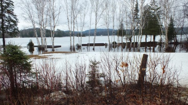 Oxtongue lake - flooded shoreline through birch trees - april 19 2013