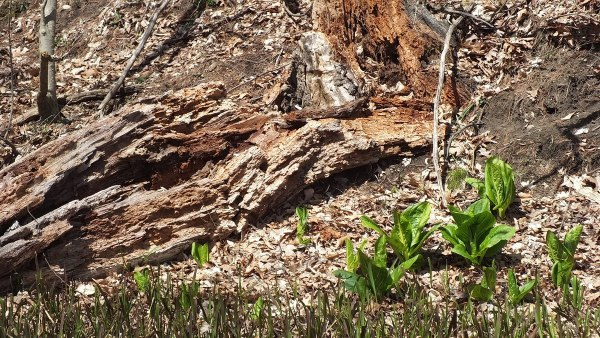 Skunk Cabbage Plants, Cootes Paradise, Burlington