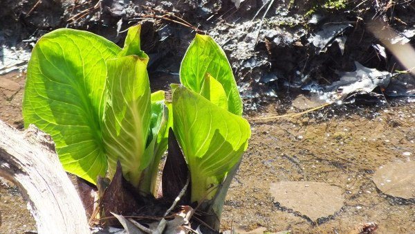 Skunk Cabbage along Stream, Cootes Paradise, Burlington