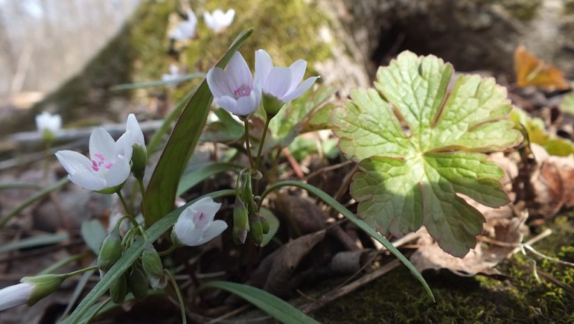 Spring Beauty Flowers, Beamer Memorial Conservation Area, Grimsby