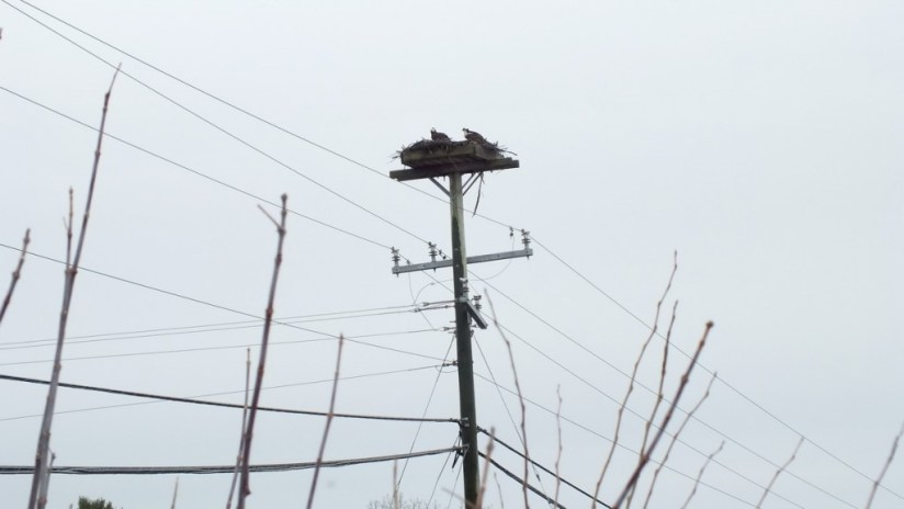 Two Osprey sitting in their hydro pole bird nest at Young's Point