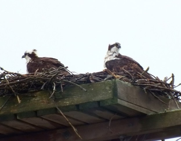 Two Osprey in their nest at Young's Point - Ontario - Canada