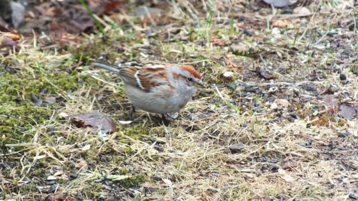 american tree sparrow on ground - oxtongue lake - ontario